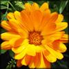 http://www.wildwarriors.narod.ru/articles/herbs/calendula.jpg
