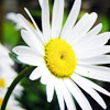 http://www.wildwarriors.narod.ru/articles/herbs/camomile.jpg