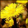 http://www.wildwarriors.narod.ru/articles/herbs/coltsfoot.jpg