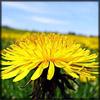 http://www.wildwarriors.narod.ru/articles/herbs/dandelion.jpg