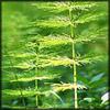 http://www.wildwarriors.narod.ru/articles/herbs/equisetum.jpg