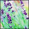 http://www.wildwarriors.narod.ru/articles/herbs/lavender.jpg