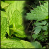 http://www.wildwarriors.narod.ru/articles/herbs/mint_nettle.jpg