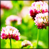 http://www.wildwarriors.narod.ru/articles/herbs/red_clover.jpg