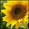 http://www.wildwarriors.narod.ru/articles/herbs/sunflower.jpg