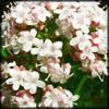 http://www.wildwarriors.narod.ru/articles/herbs/valerian.jpg